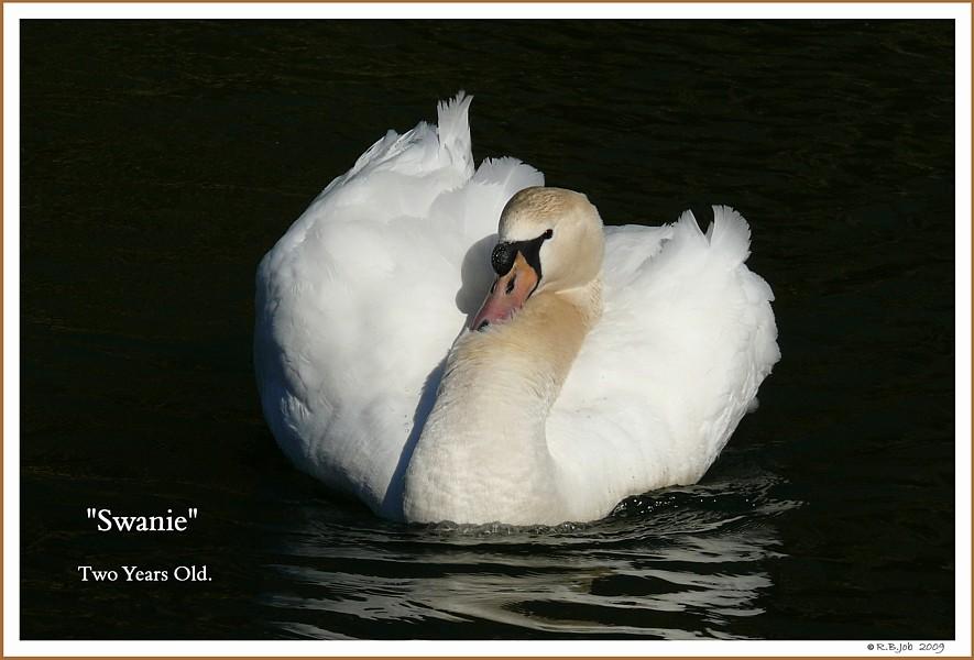 Male Mute Swan Swanie