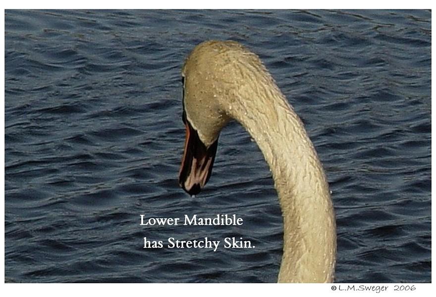Swan Flat Chin