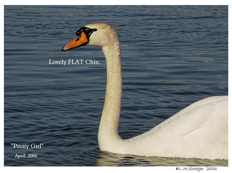 Mute Swan Flat Chin Swan Under Chin-Tongue Bulge Impaction