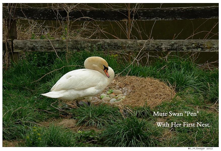 Female Mute Nesting Swans DNA-Sex Testing