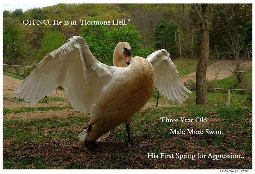 Spring Swan Aggression