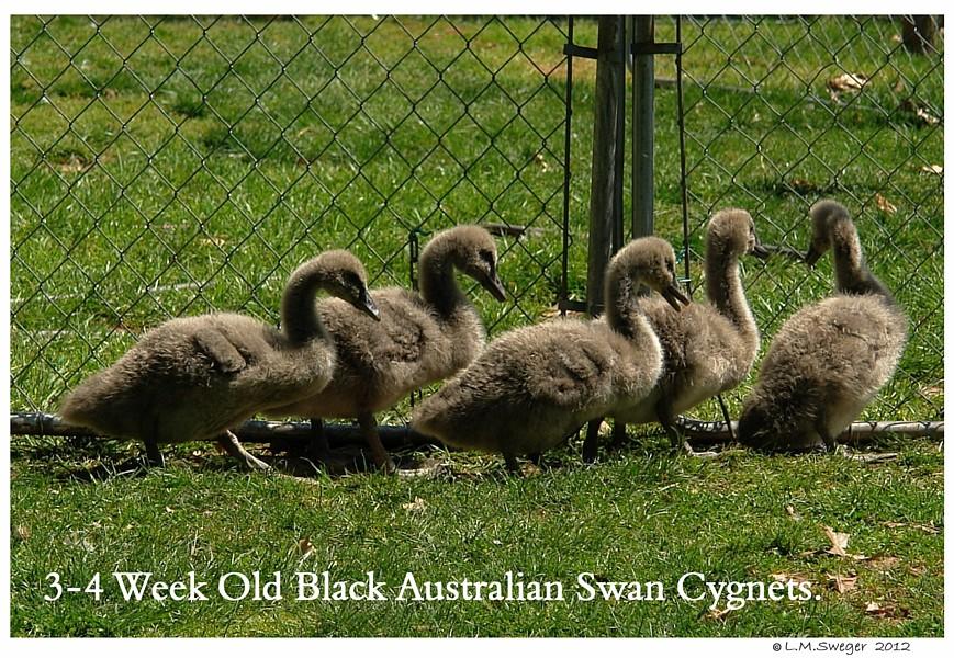 Black Australian Swan Cygnets Swans DNA-Sex Testing