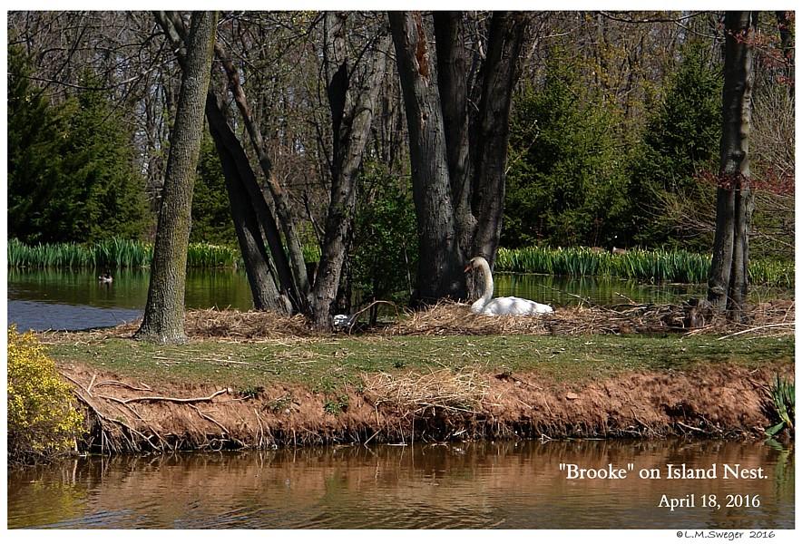 Island Mute Swan Nesting