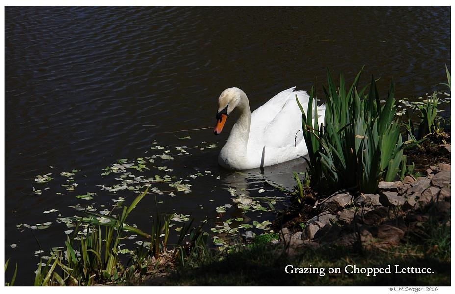 Mute Swans Grazing Captive Mute Swans Feeding Swans