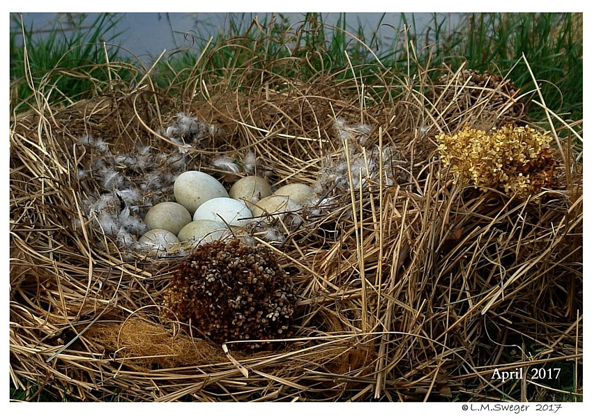 Mute Swan Eggs Captive Mute Swans Feeding Swans