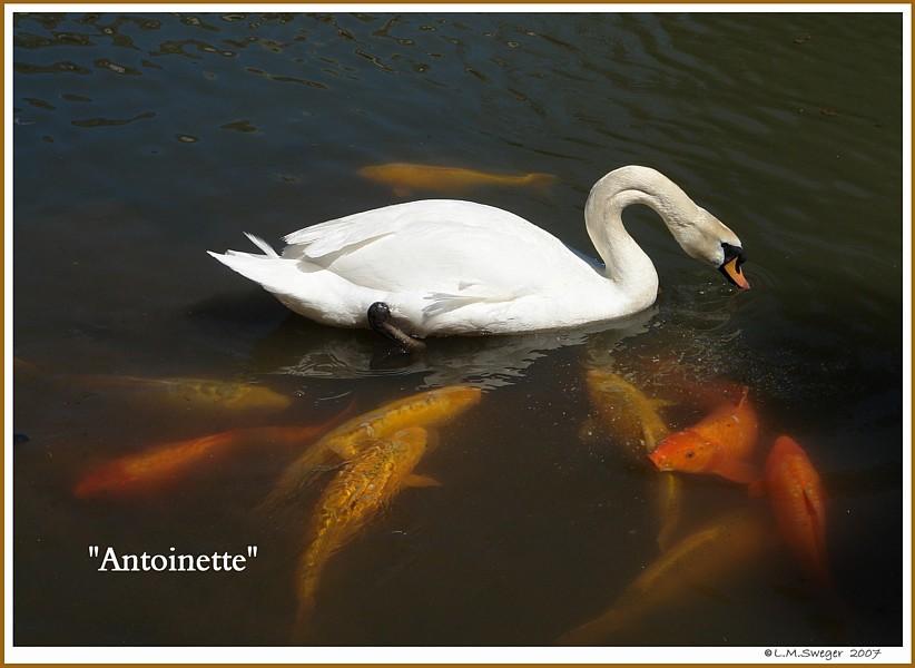 Swan Antoinette