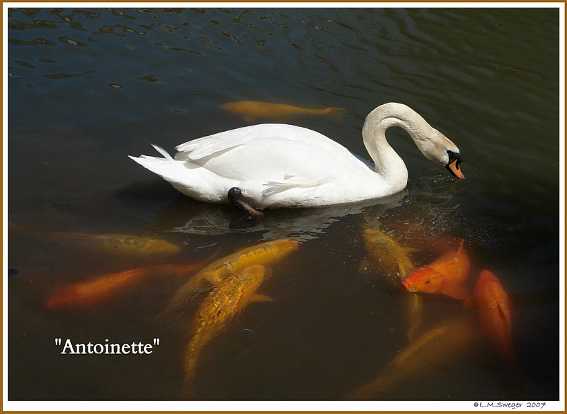 Female Mute Swan Antoinette