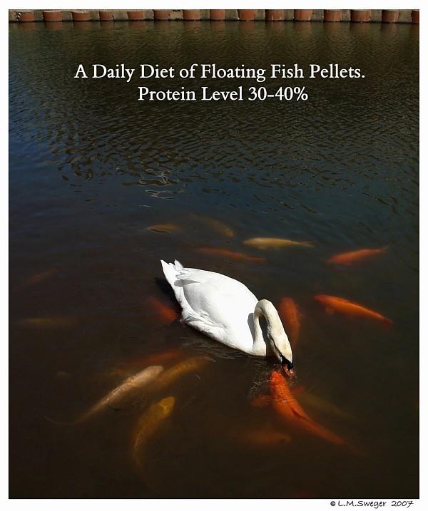 Swan Fish Pellets Captive Mute Swans Feeding Swans