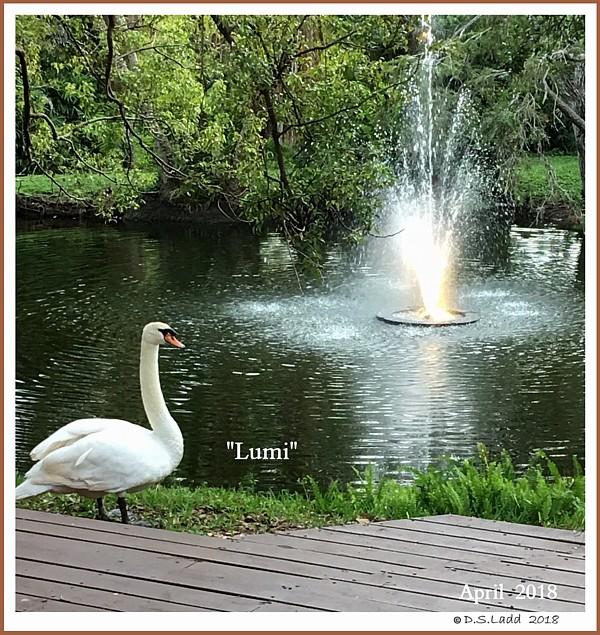 Mature Mute Swan Cob Lumi