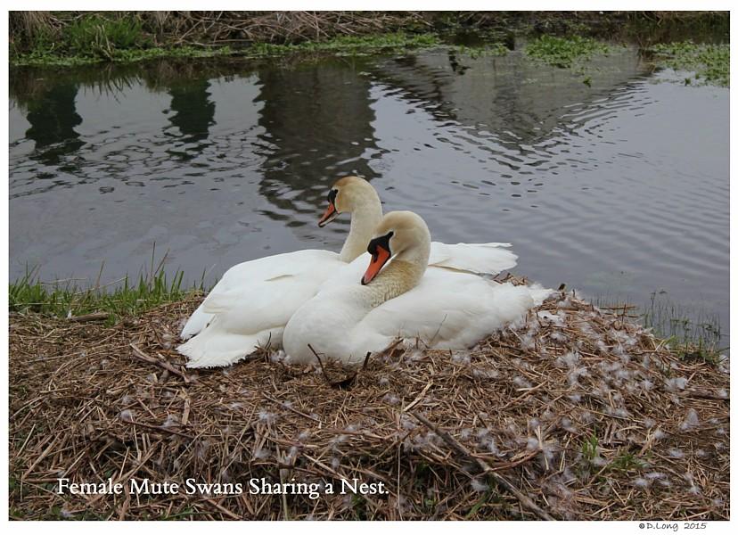 Female Swan Nesting