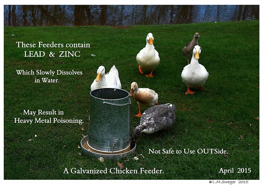 Galvanized Feeders Captive Mute Swans Feeding Swans