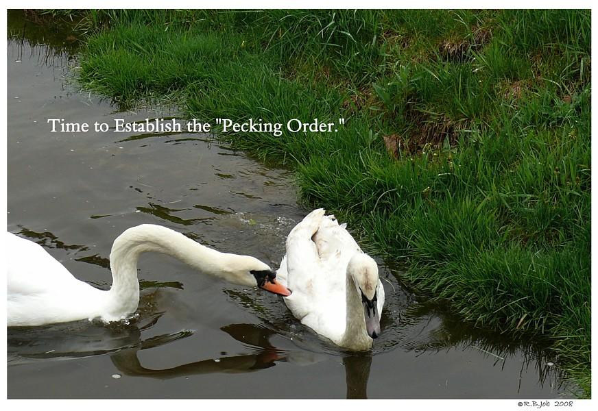 Swans Pecking Order