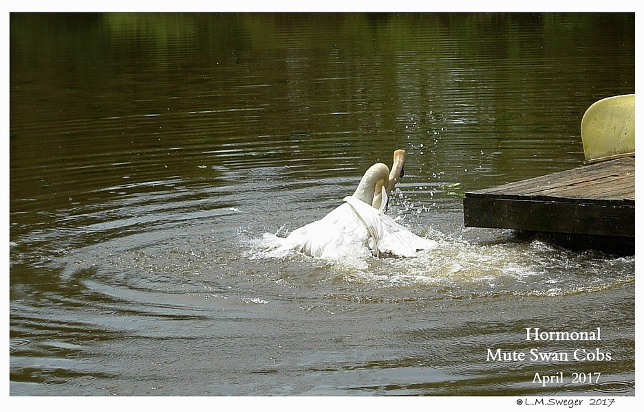 Male Mute Swans Swans DNA-Sex Testing