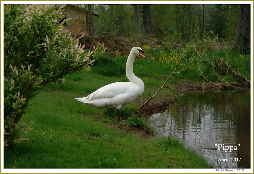 Female Mute Swan Pippa