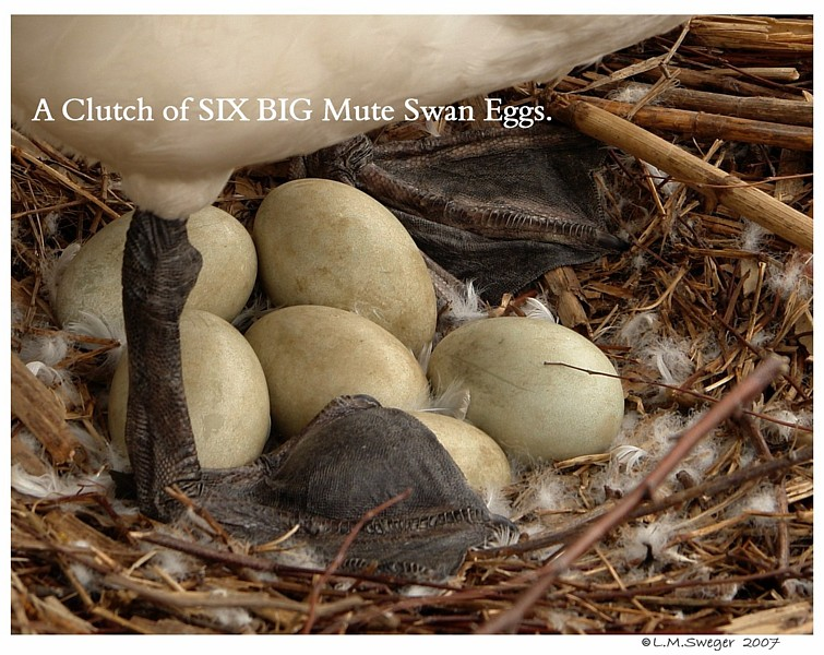 Clutch of Mute Swan Eggs