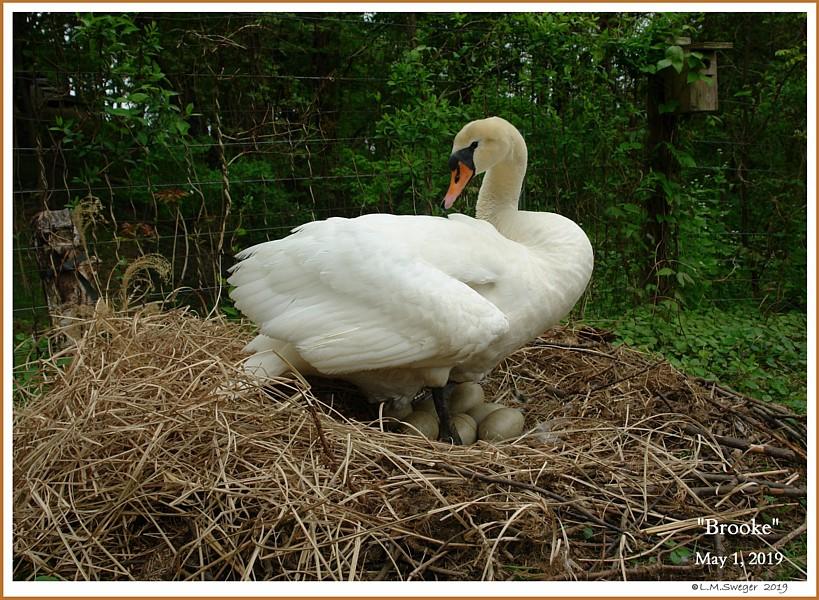 Nesting Mute Swan Pen