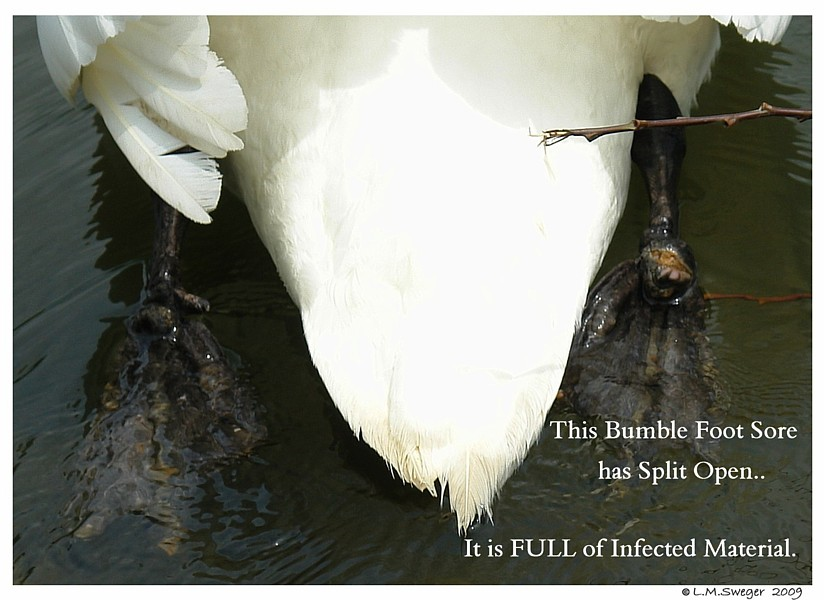 Bumble Foot Sore Swans DNA-Sex Testing