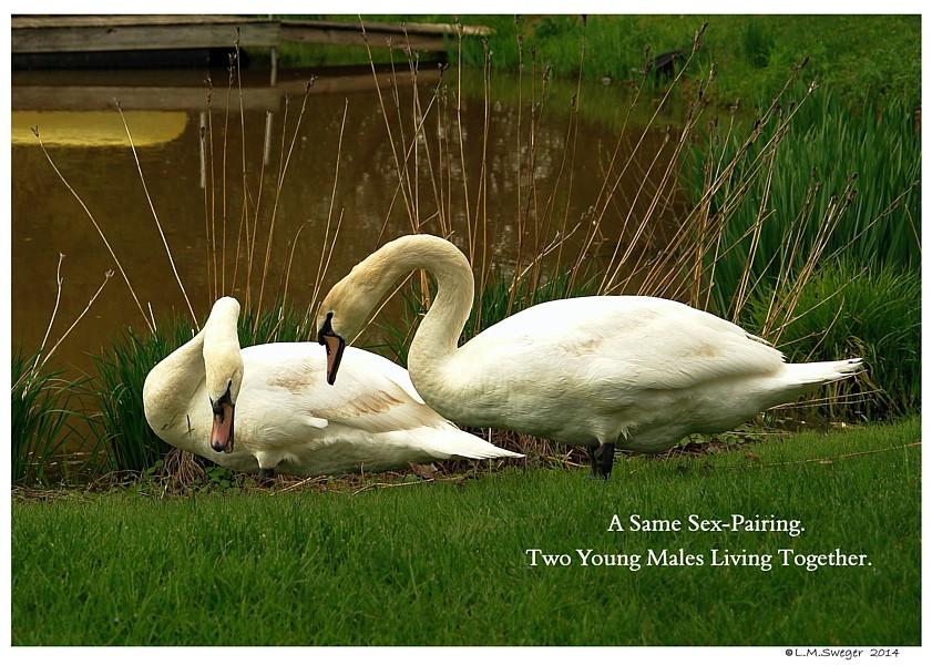 Male Mute Swans