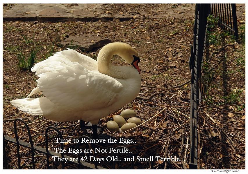 Mute Swan Spoil Eggs