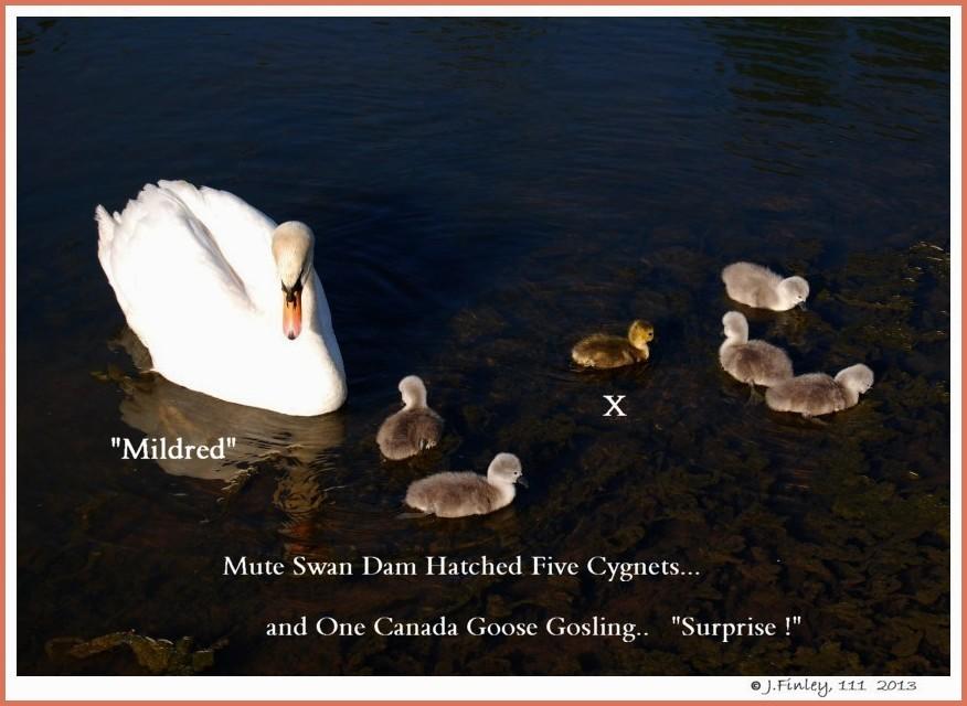 Female Mute Swan Mildred