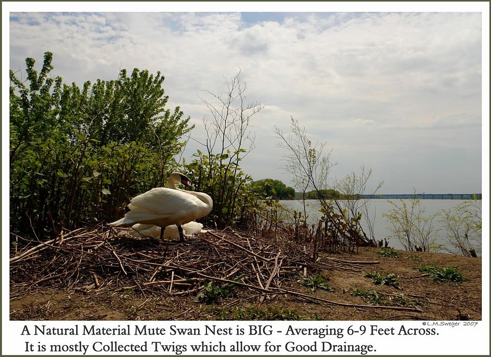 Mute Swans Nesting