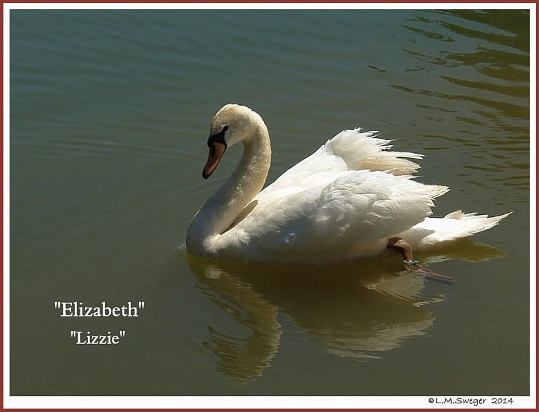Mute Swan Cygnet Lizzie