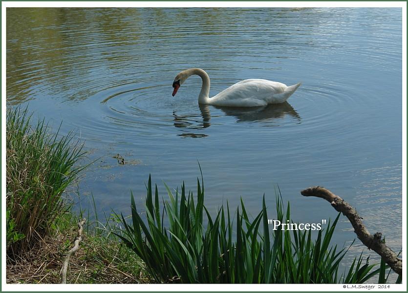 Mute Swan Princess
