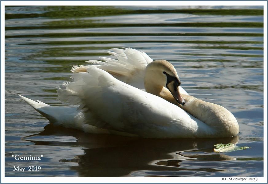 Mute Swan Female Gemima