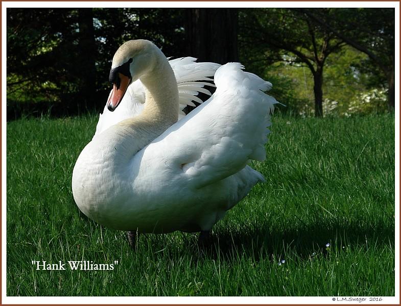 Male Mute Swan Hank Williams