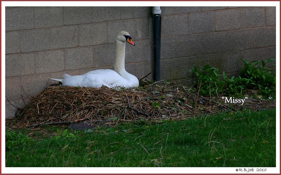 Nesting Mute Swan Missy