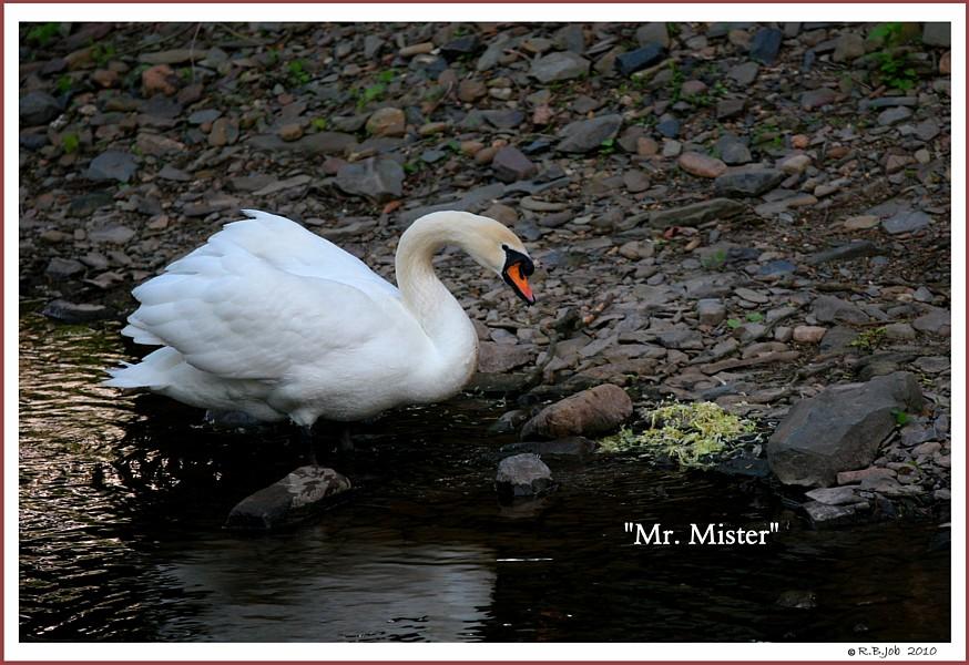 Male Mute Swan Mr, Mister