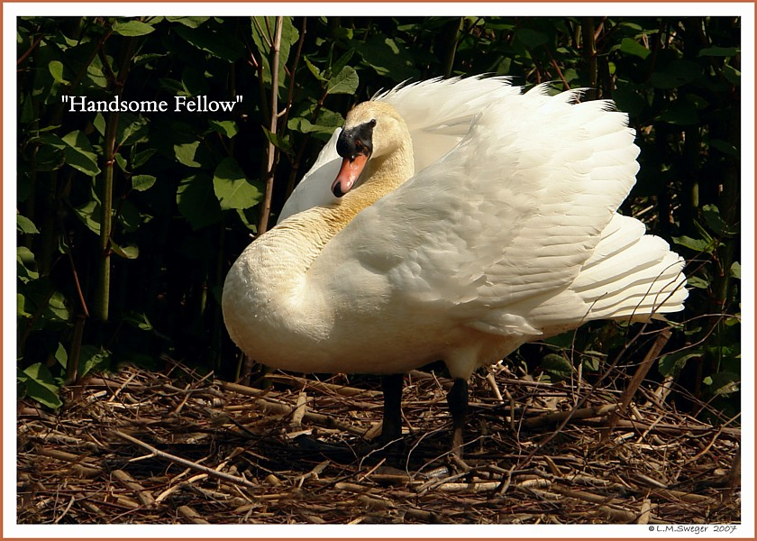 Mute Swan Handsome Fellow