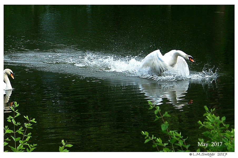 Swans Wing Tips on Water