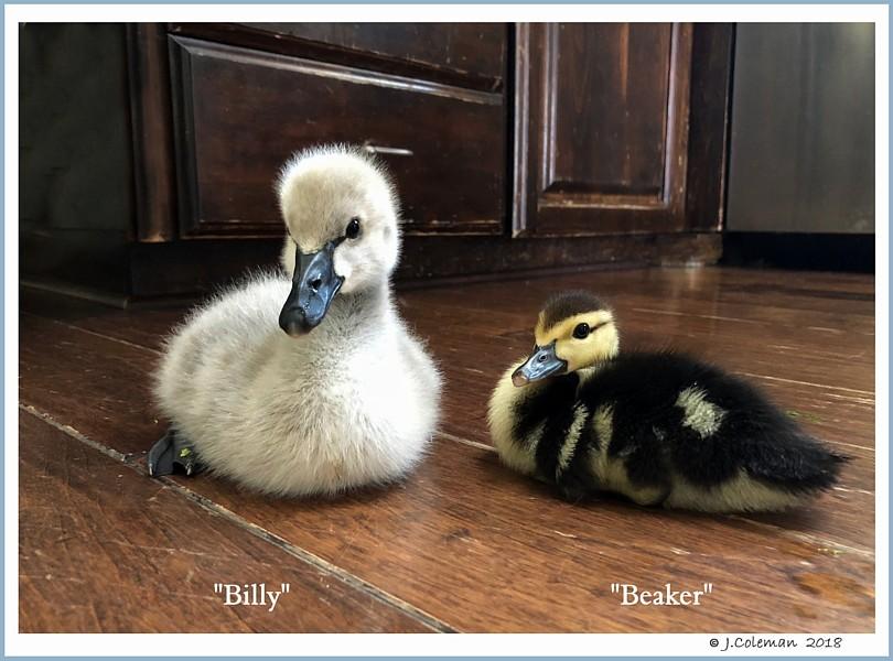 Black Swan Cygnet Billy