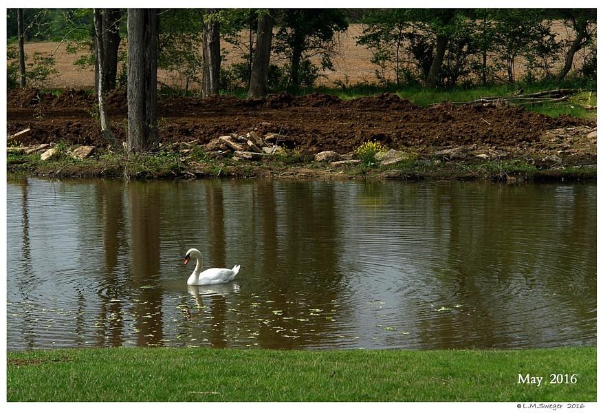 Feeding Captive Swans