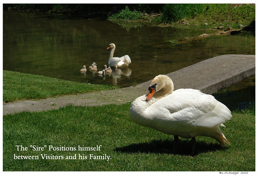 Swan Sire Protecting Family