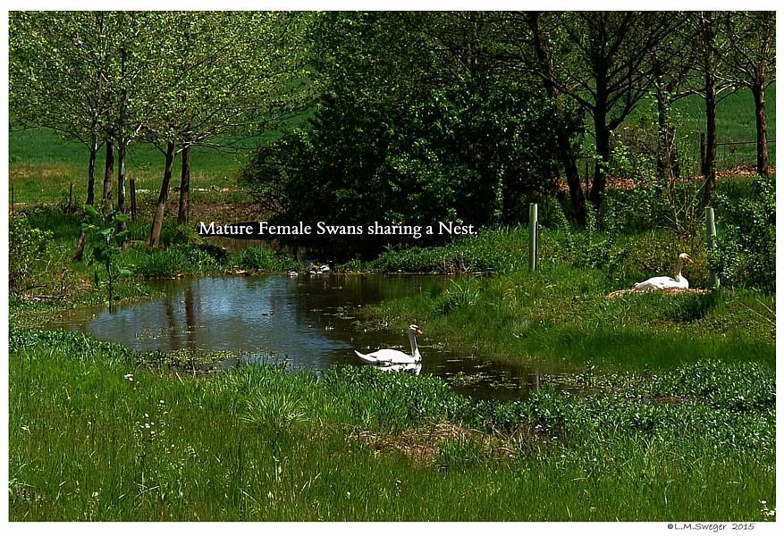 Female Mute Swans Nesting Swans DNA-Sex Testing