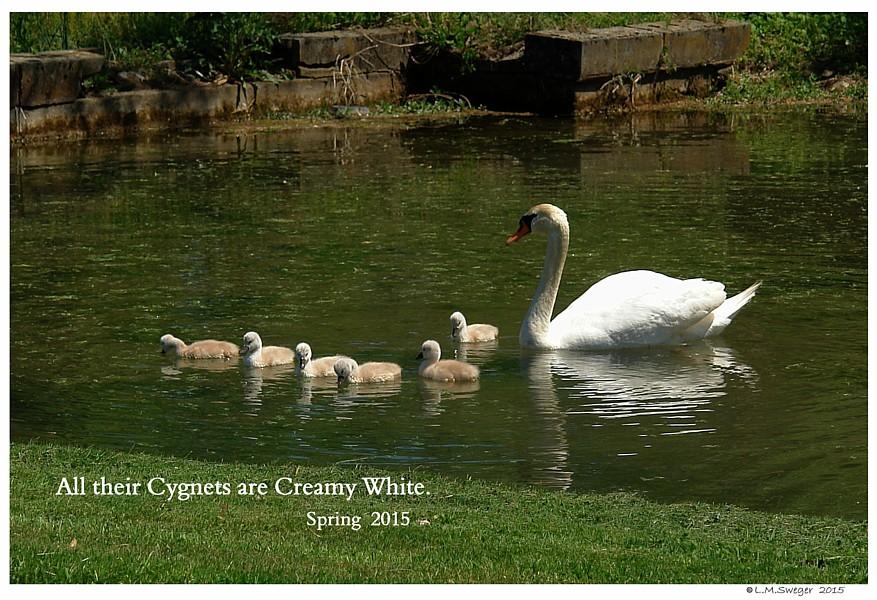 Polish Mute Swan Cygnets Swans DNA-Sex Testing