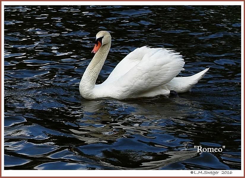 Mute Swan Romeo