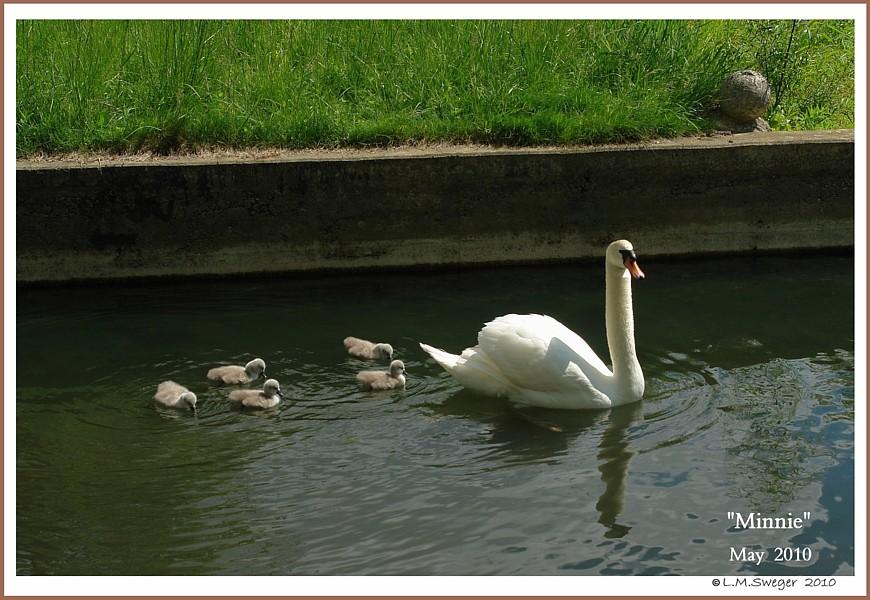 Mute Swan Dam with Cygnets  Minnie