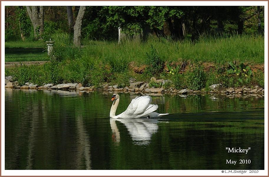 Mature Mute Swan Cob Mickey