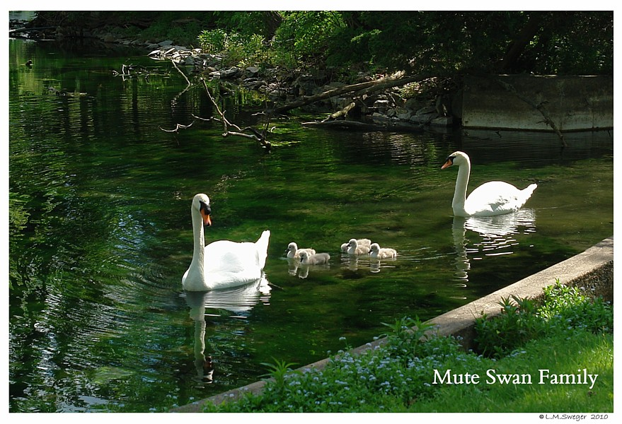NORTH CAROLINA Mute Swan