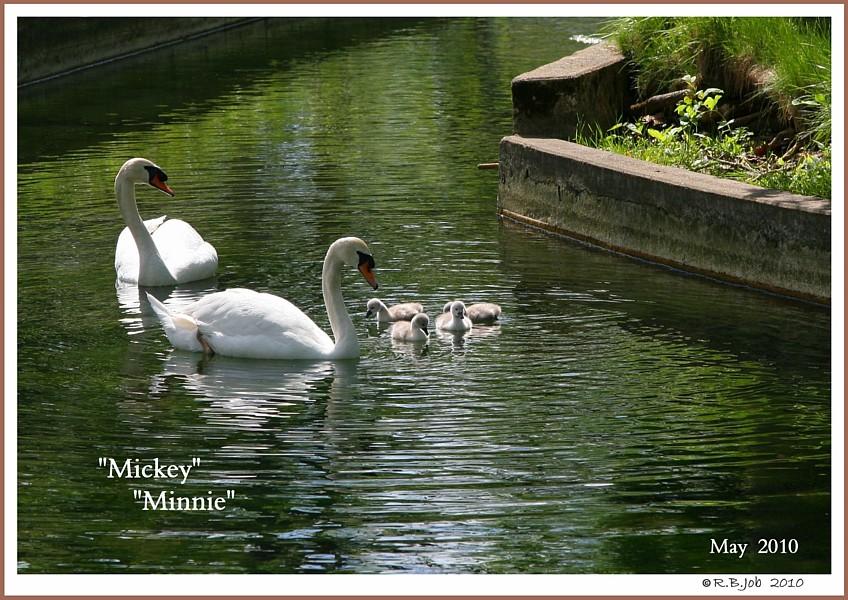 Mute Swan Family  Mickey  Minnie