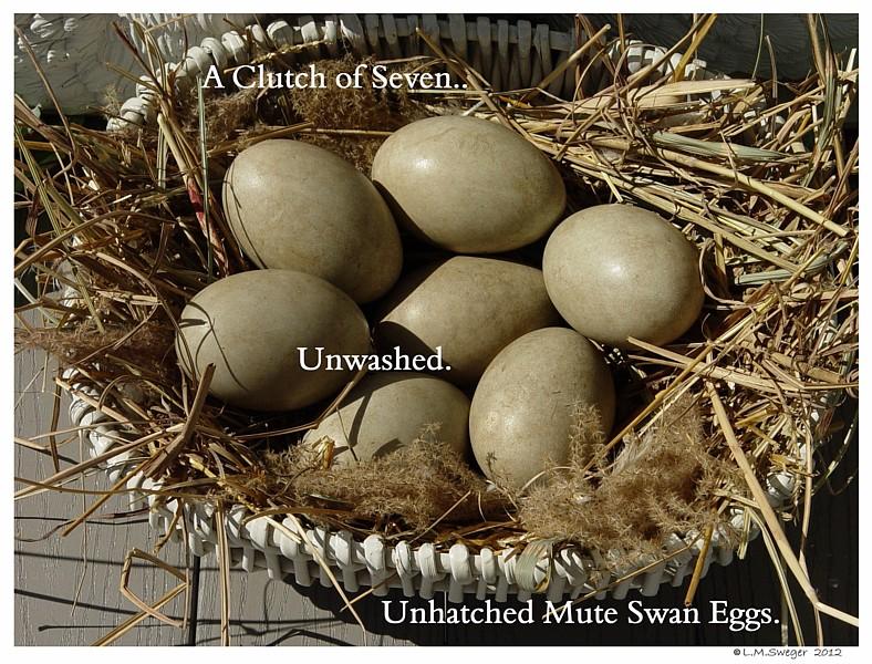 Mute Swan Egg Shells Swans DNA-Sex Testing