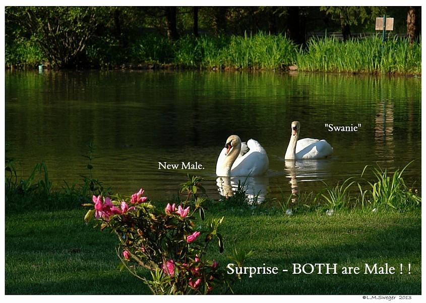 Same Sex Male Swans Swans DNA-Sex Testing