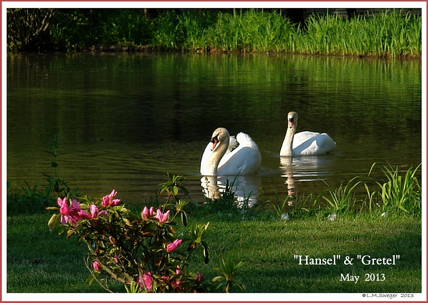 Mute Swans Hansel  Gretel