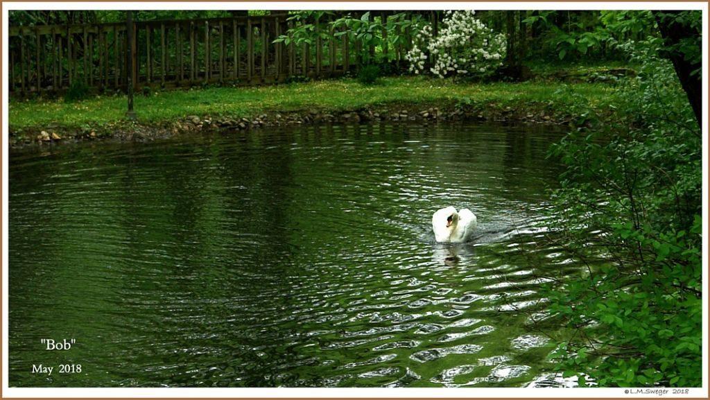 Mute Swan Cob Bob