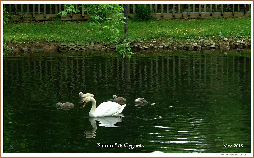 Female Mute Swan Sammi Cygnets