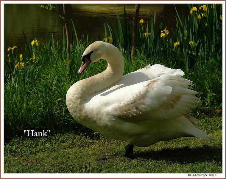 Juvenile Mute Swan Male Hank
