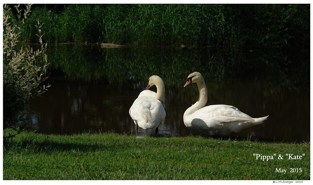 Swan Metal Poisoning Captive Mute Swans Feeding Swans